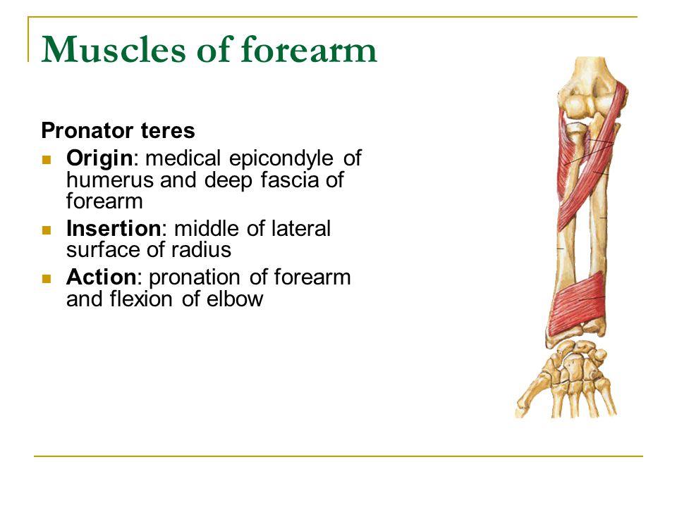 Muscles of forearm Pronator teres