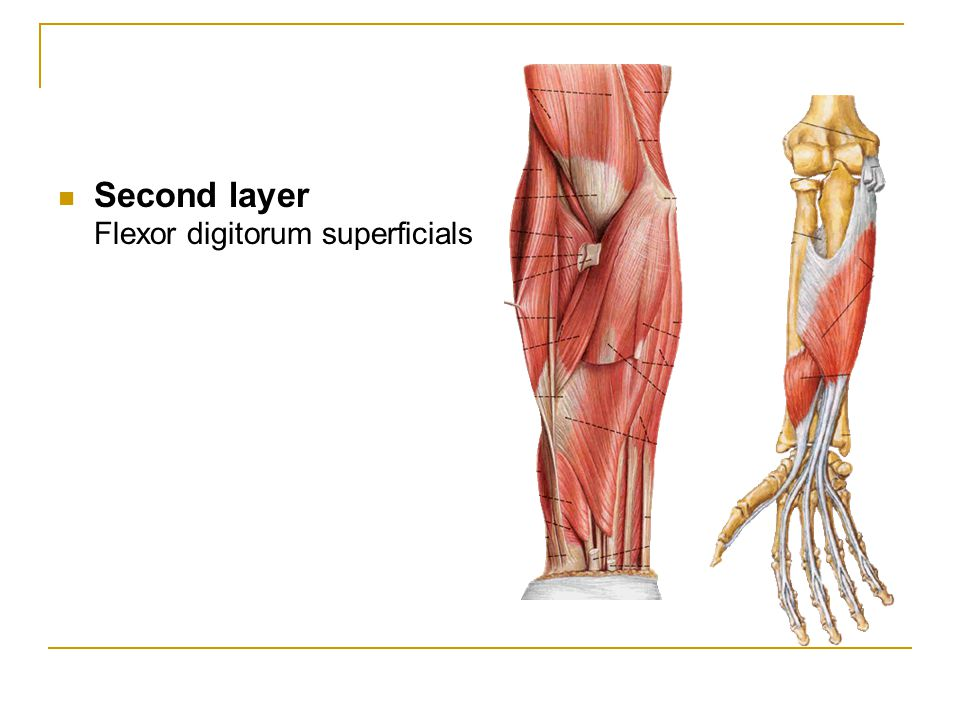 Second layer Flexor digitorum superficials