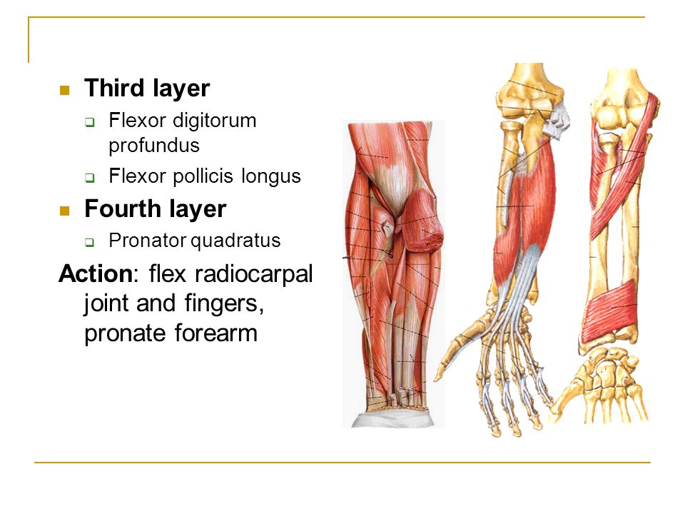Action: flex radiocarpal joint and fingers, pronate forearm