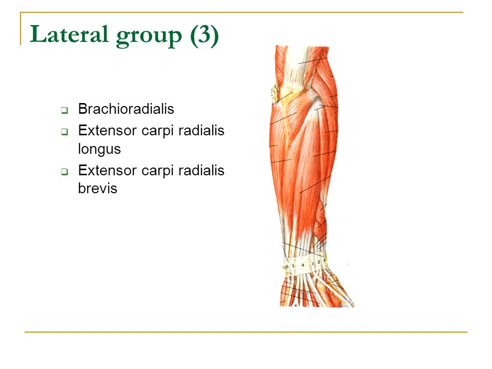 Lateral group (3) Brachioradialis Extensor carpi radialis longus