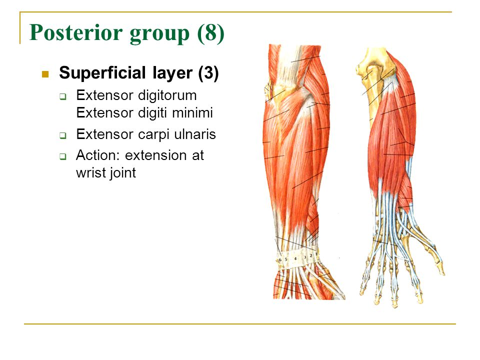 Posterior group (8) Superficial layer (3)