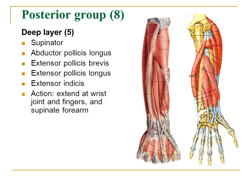 Posterior group (8) Deep layer (5) Supinator Abductor pollicis longus