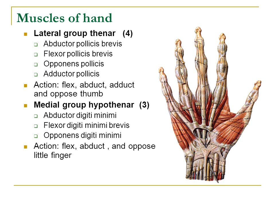 Muscles of hand Lateral group thenar (4)