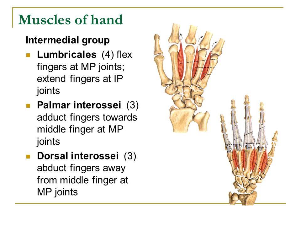 Muscles of hand Intermedial group