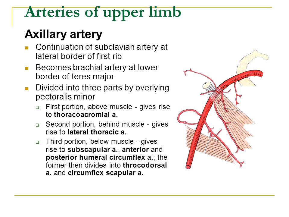 Arteries of upper limb Axillary artery