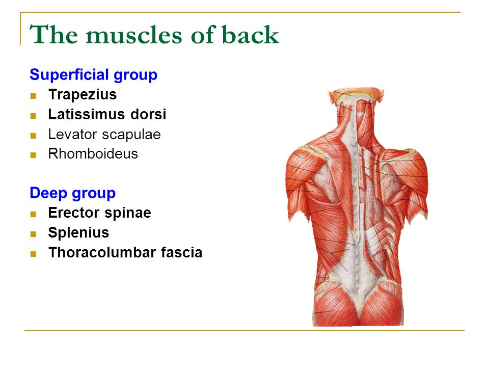 The muscles of back Superficial group Deep group Trapezius