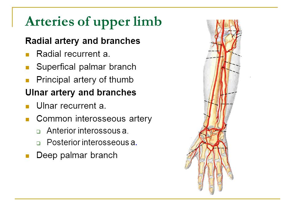 Arteries of upper limb Radial artery and branches Radial recurrent a.