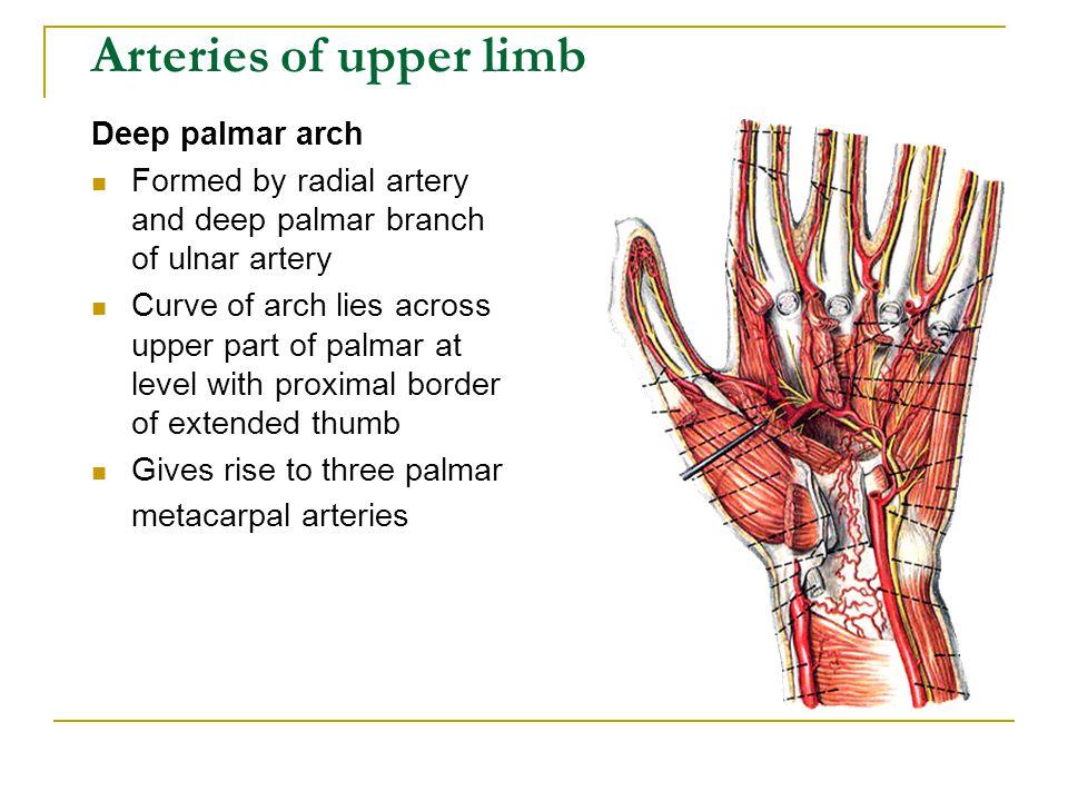 Arteries of upper limb Deep palmar arch