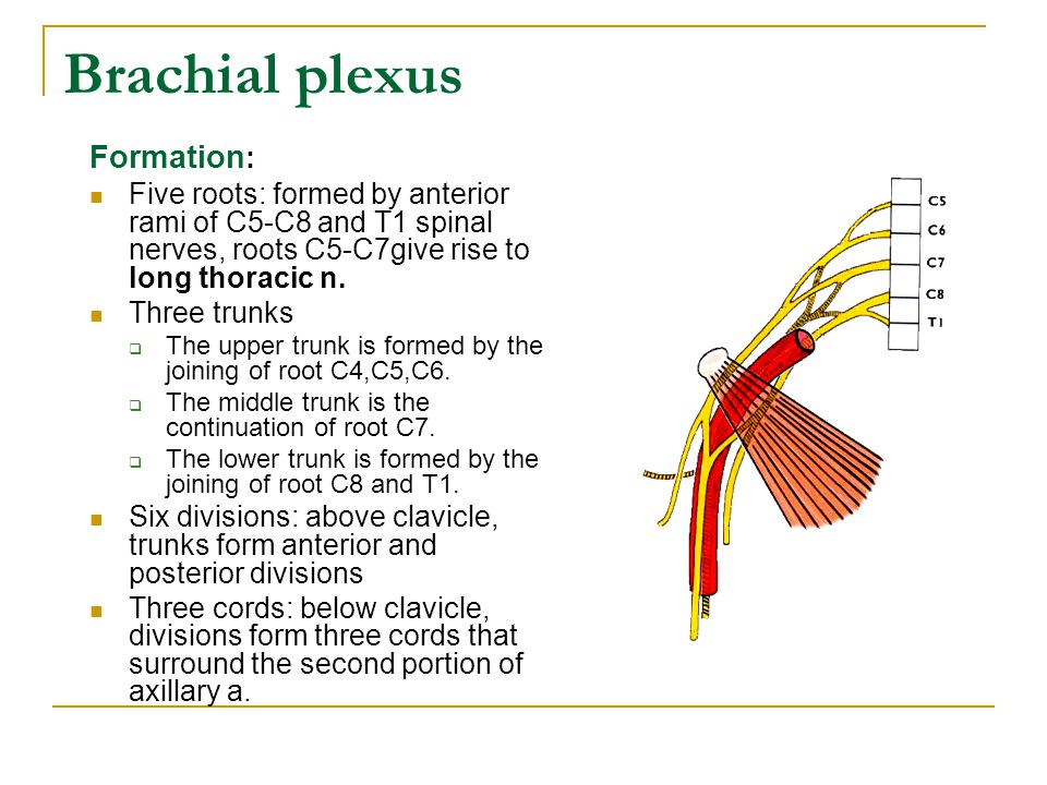 Brachial plexus Formation: