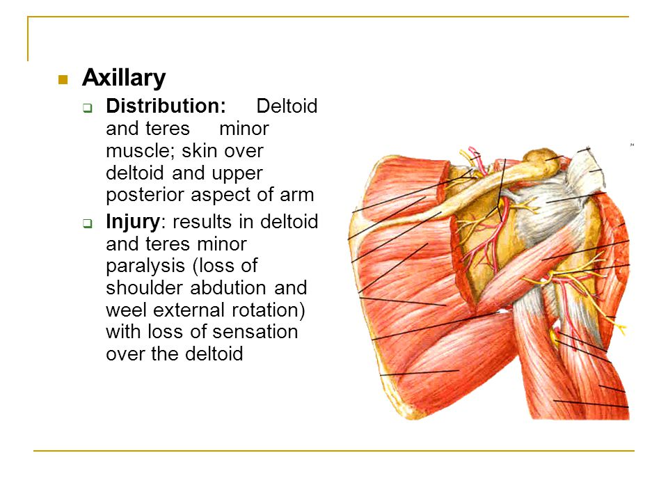 Axillary Distribution: Deltoid and teres minor muscle; skin over deltoid and upper posterior aspect of arm.