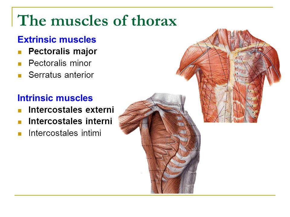 The muscles of thorax Extrinsic muscles Intrinsic muscles