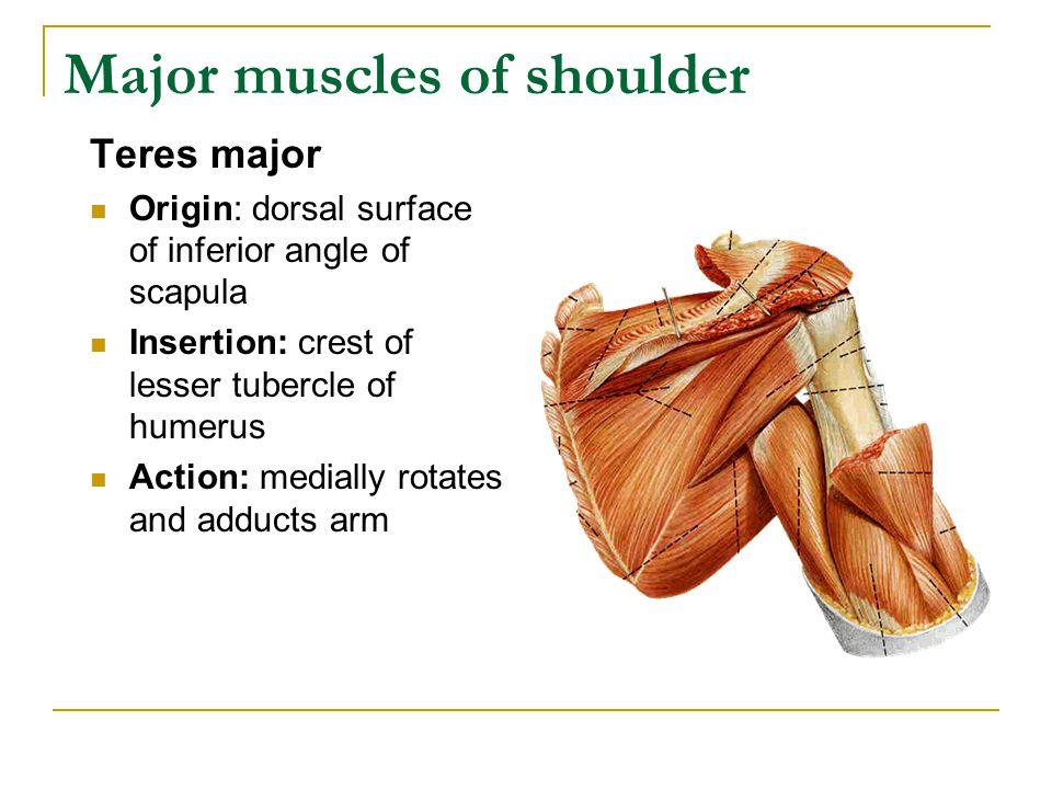 Major muscles of shoulder