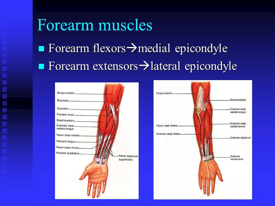 Forearm muscles Forearm flexorsmedial epicondyle