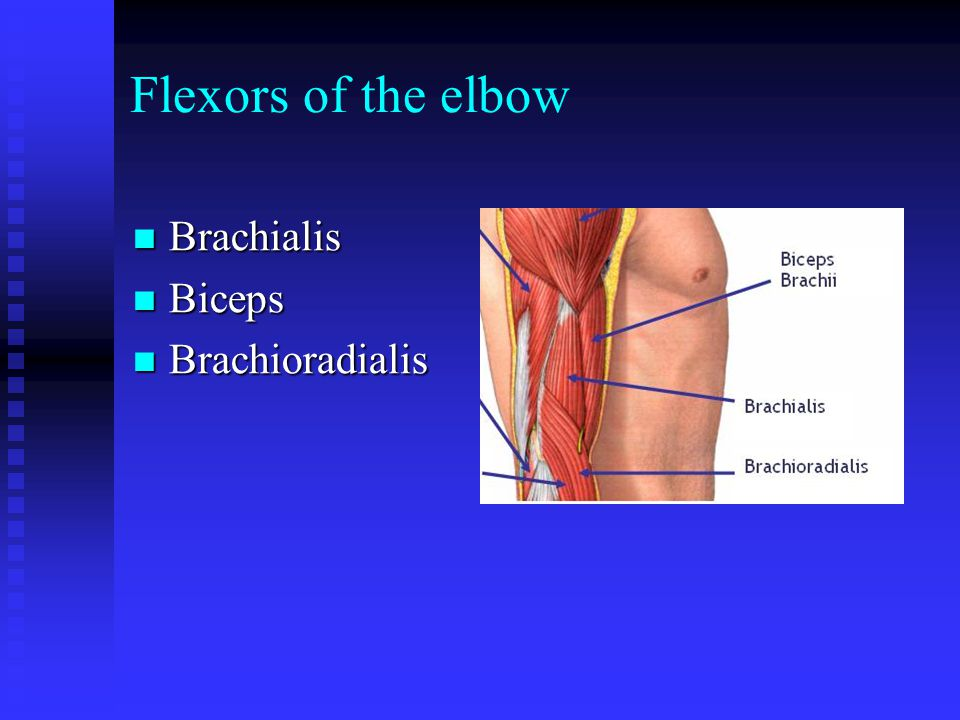 Flexors of the elbow Brachialis Biceps Brachioradialis