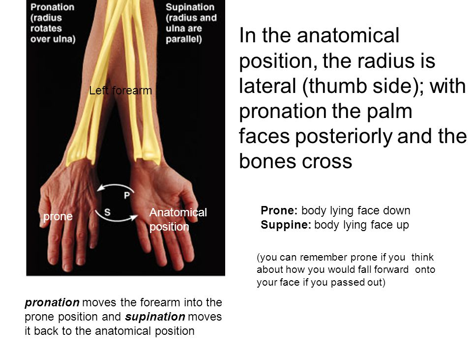 In the anatomical position, the radius is lateral (thumb side); with pronation the palm faces posteriorly and the bones cross