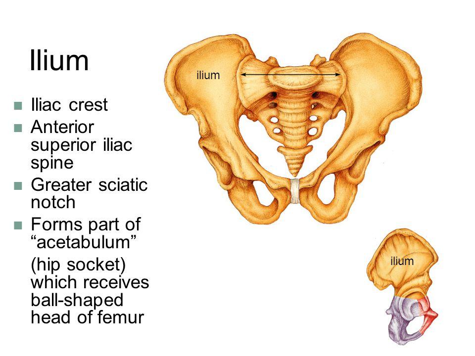 Ilium Iliac crest Anterior superior iliac spine Greater sciatic notch