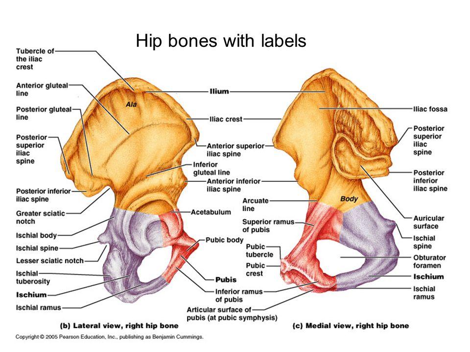 Hip bones with labels