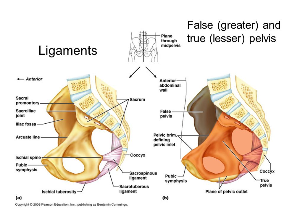 False (greater) and true (lesser) pelvis Ligaments