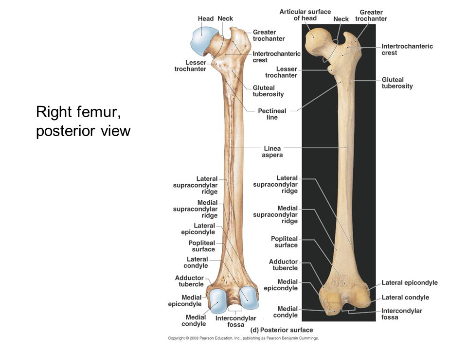 Right femur, posterior view