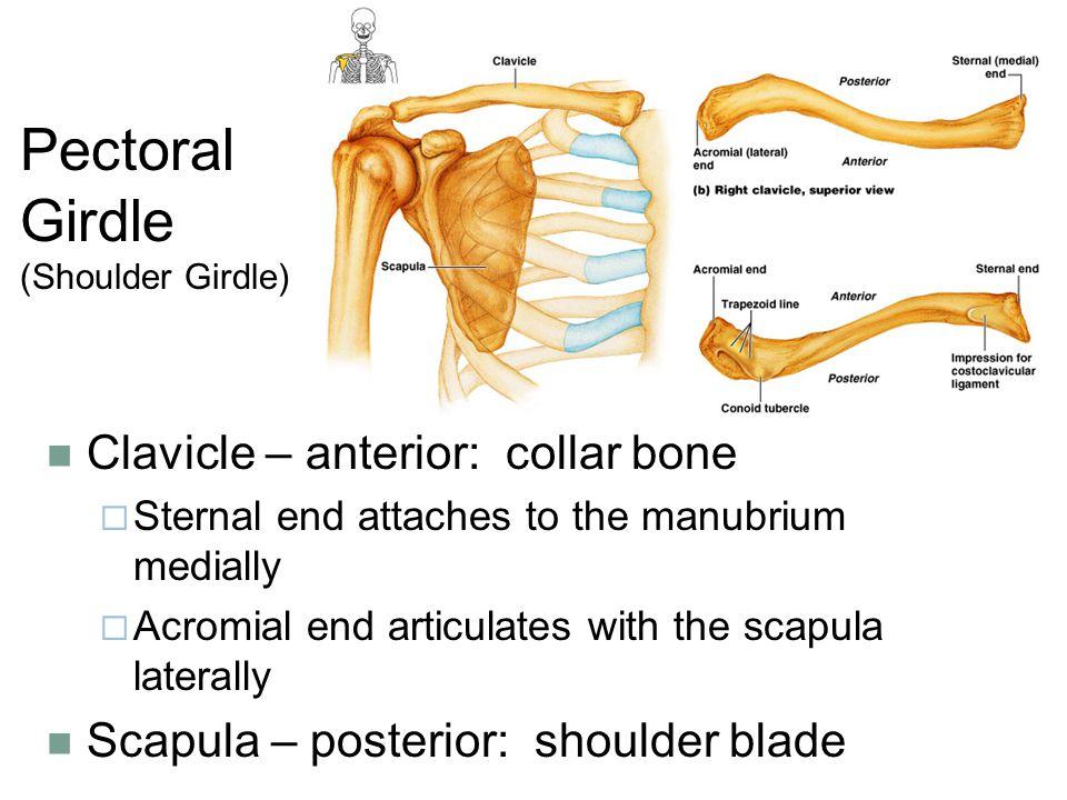 Pectoral Girdle (Shoulder Girdle)