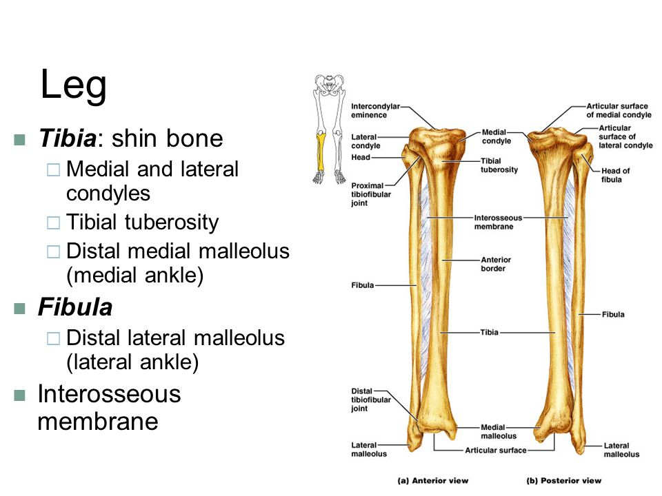 Leg Tibia: shin bone Fibula Interosseous membrane