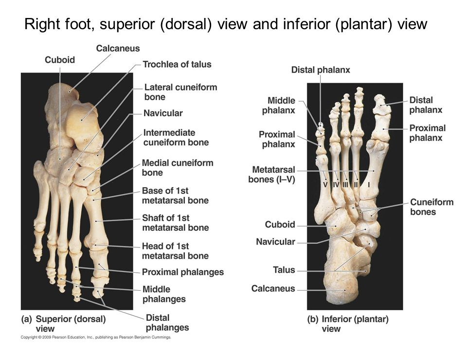 Right foot, superior (dorsal) view and inferior (plantar) view