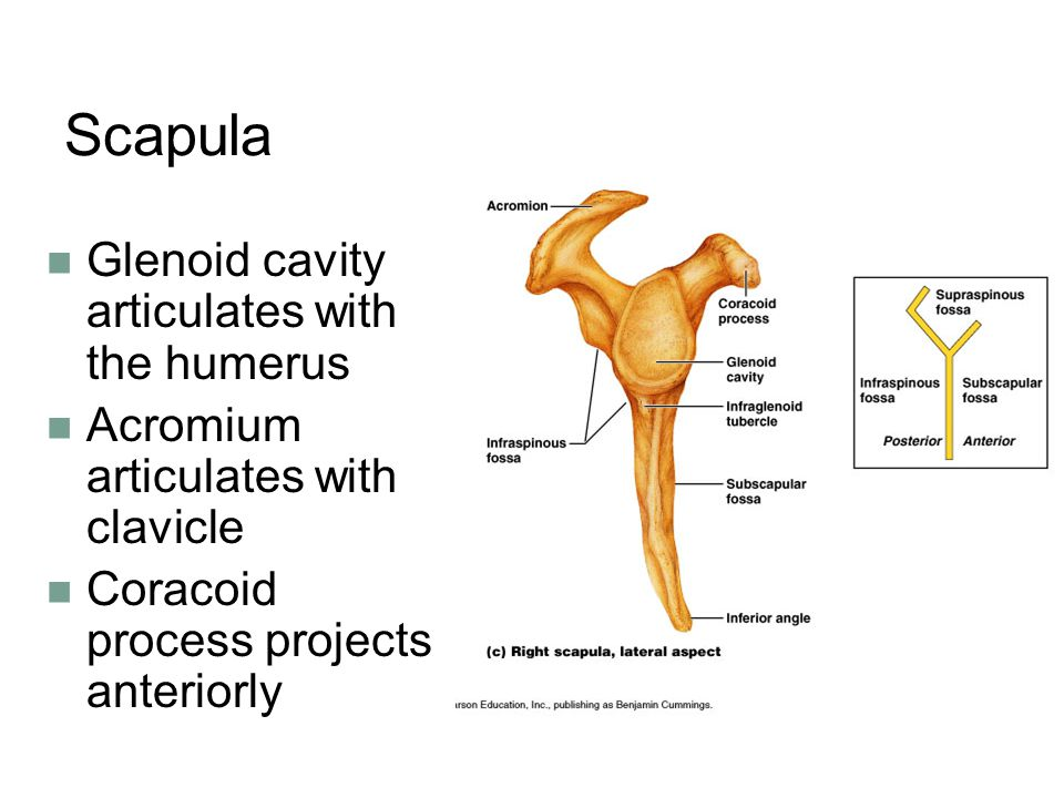 Scapula Glenoid cavity articulates with the humerus