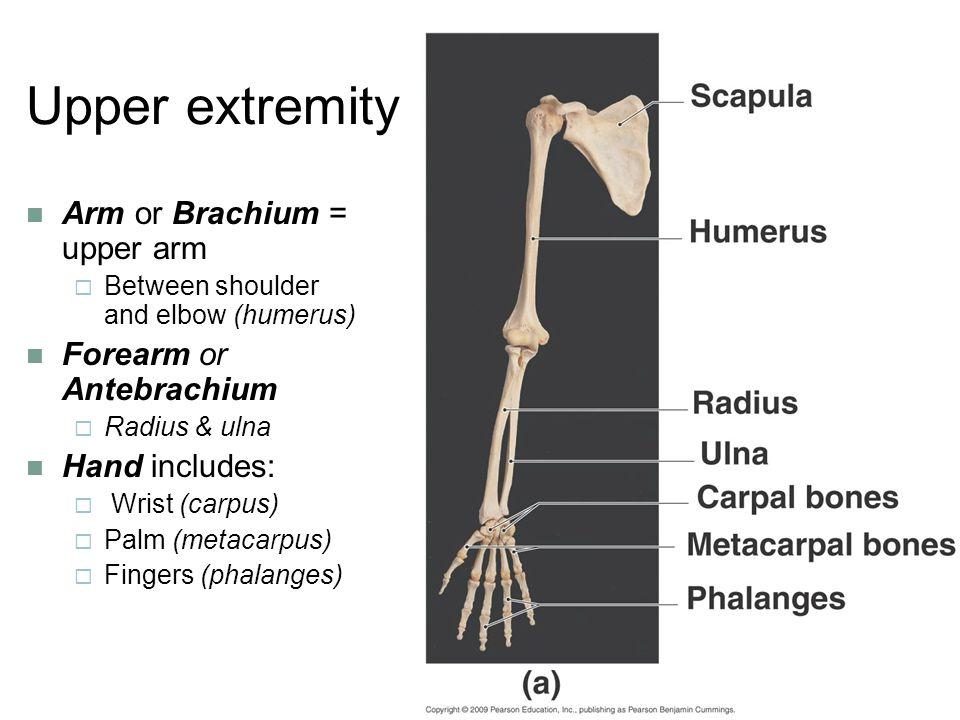 Upper extremity Arm or Brachium = upper arm Forearm or Antebrachium