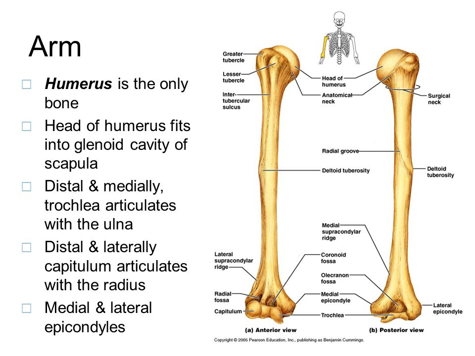 Arm Humerus is the only bone