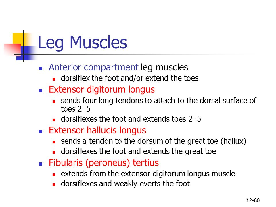 Leg Muscles Anterior compartment leg muscles Extensor digitorum longus