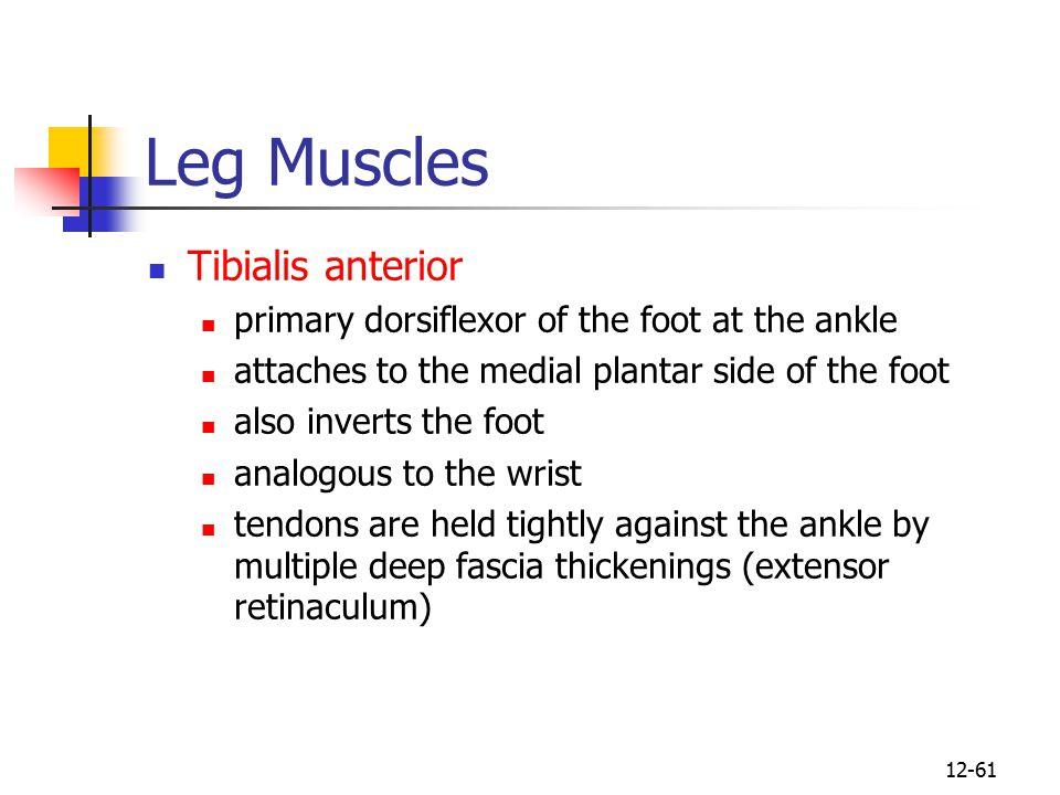 Leg Muscles Tibialis anterior