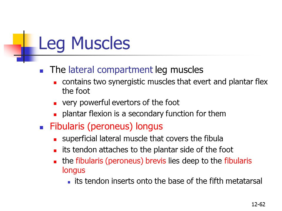 Leg Muscles The lateral compartment leg muscles