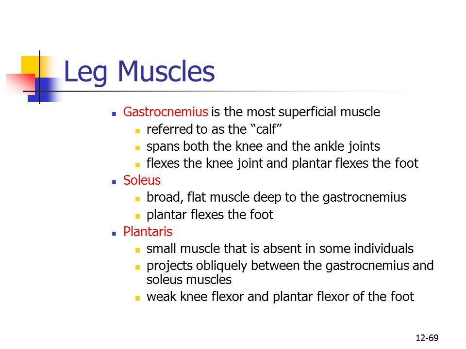 Leg Muscles Gastrocnemius is the most superficial muscle
