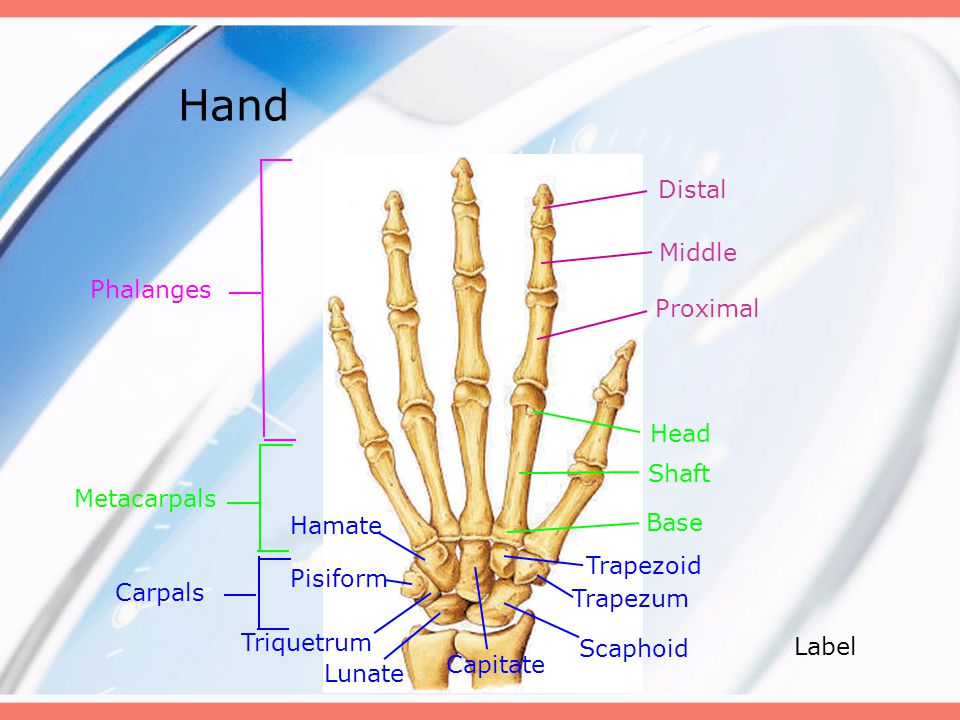 Hand Distal Middle Phalanges Proximal Head Shaft Metacarpals Hamate