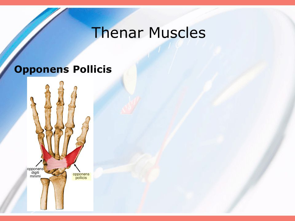 Thenar Muscles Opponens Pollicis