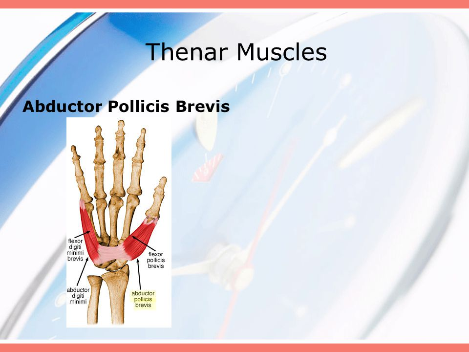 Thenar Muscles Abductor Pollicis Brevis