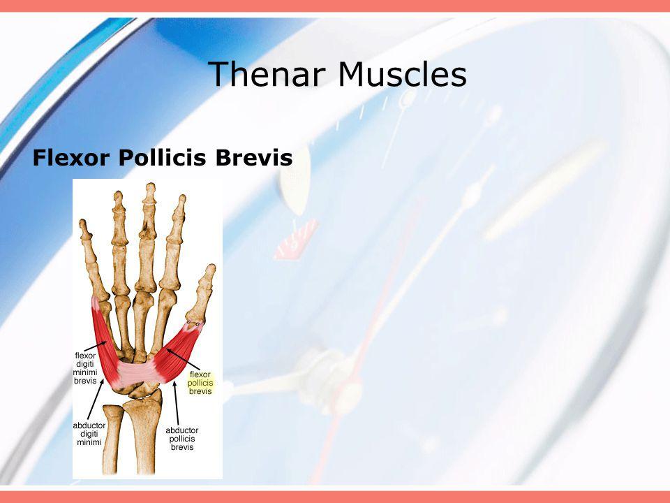 Thenar Muscles Flexor Pollicis Brevis