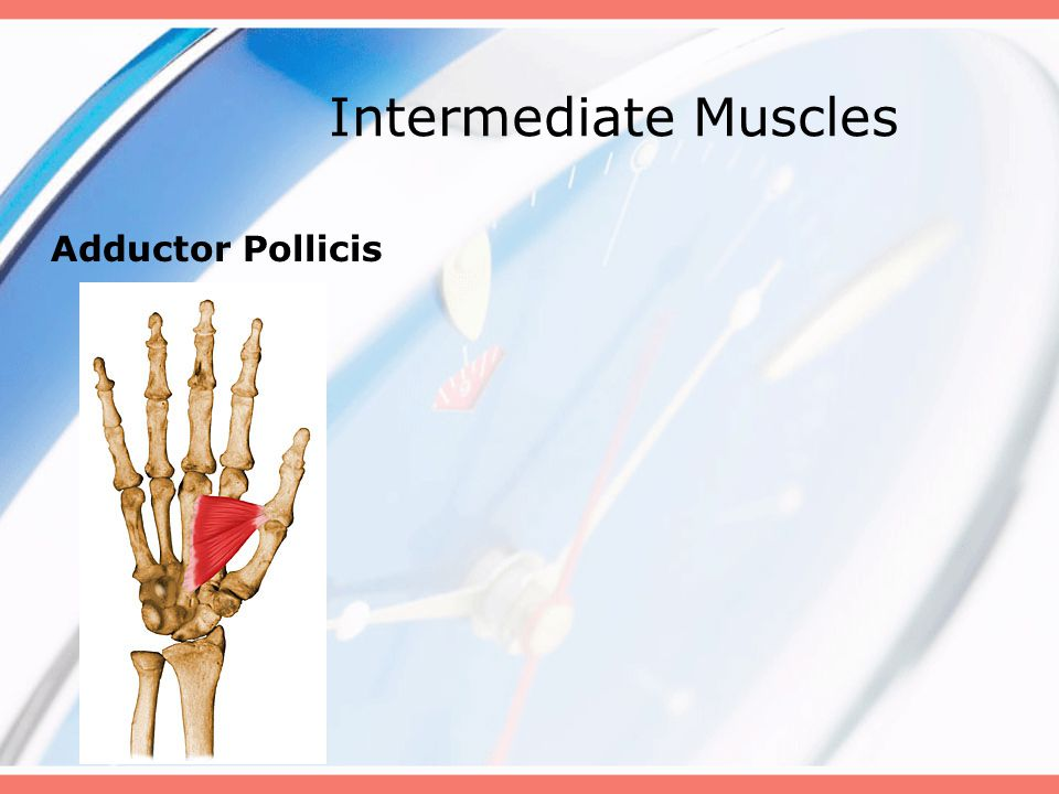 Intermediate Muscles Adductor Pollicis