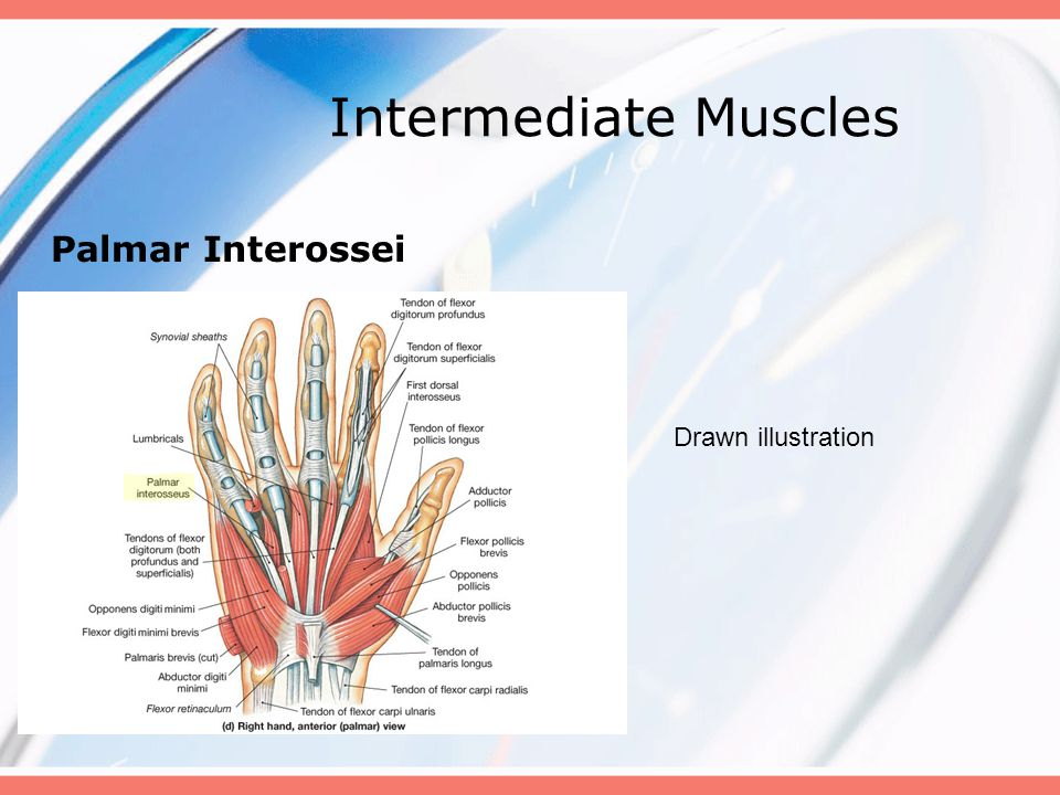 Intermediate Muscles Palmar Interossei Drawn illustration