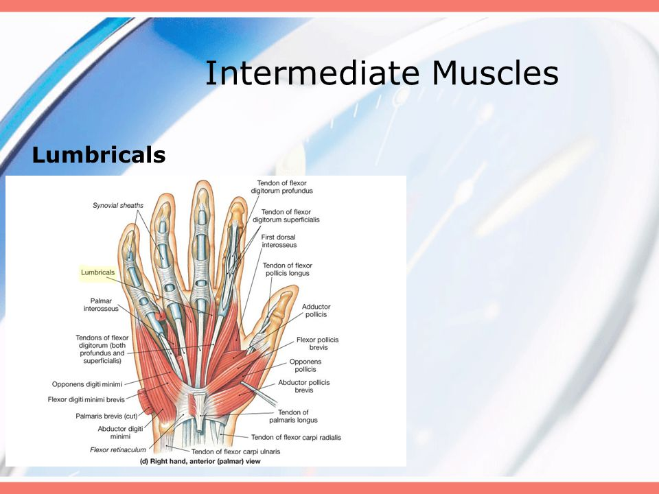 Intermediate Muscles Lumbricals