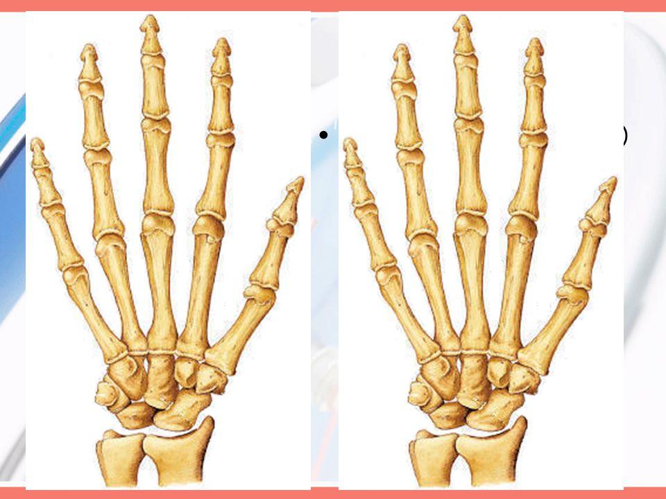 Joints Radioulnar (Pivot) Radiocarpal (Condylodial)