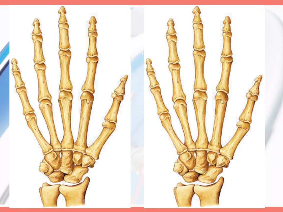 Joints Intercarpal (Arthrodial) Intermetacarpal (Arthrodial)