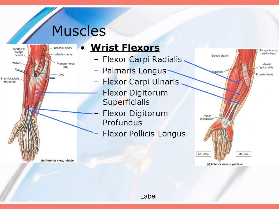 Muscles Wrist Flexors Flexor Carpi Radialis Palmaris Longus