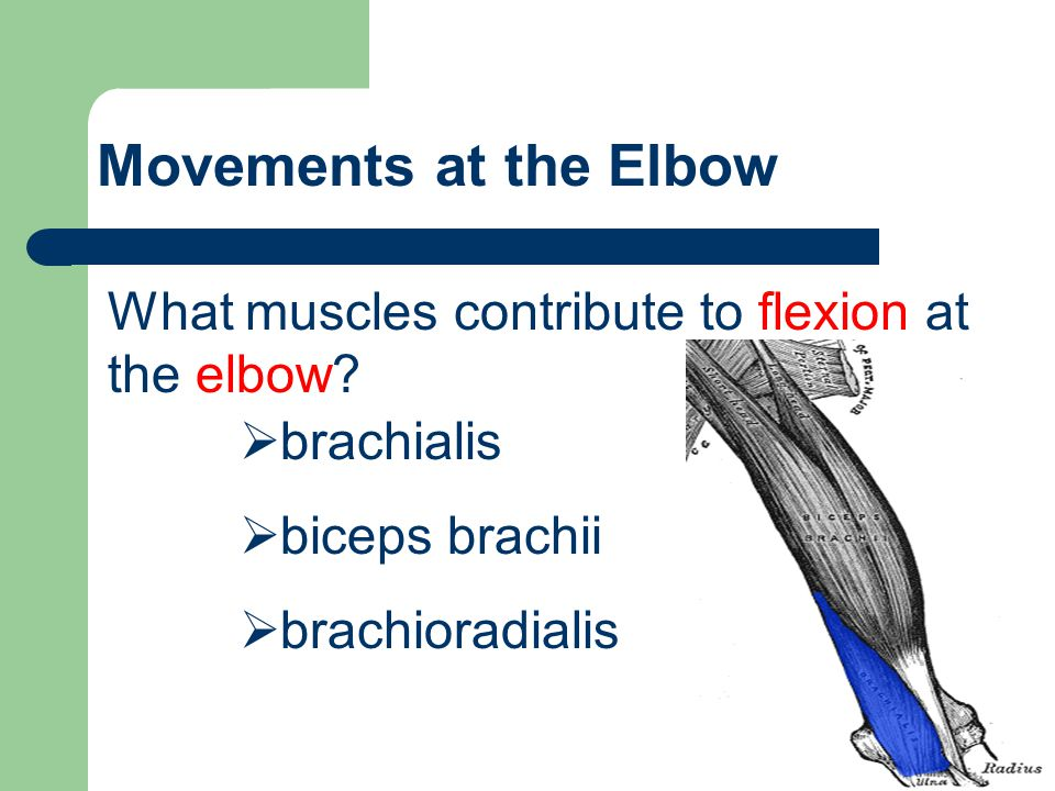 Movements at the Elbow What muscles contribute to flexion at the elbow brachialis. biceps brachii.