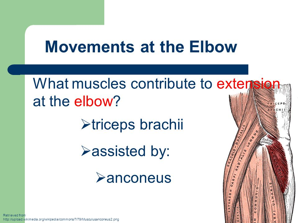 Movements at the Elbow What muscles contribute to extension at the elbow triceps brachii. assisted by: