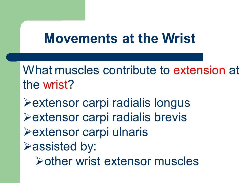 Movements at the Wrist What muscles contribute to extension at the wrist extensor carpi radialis longus.