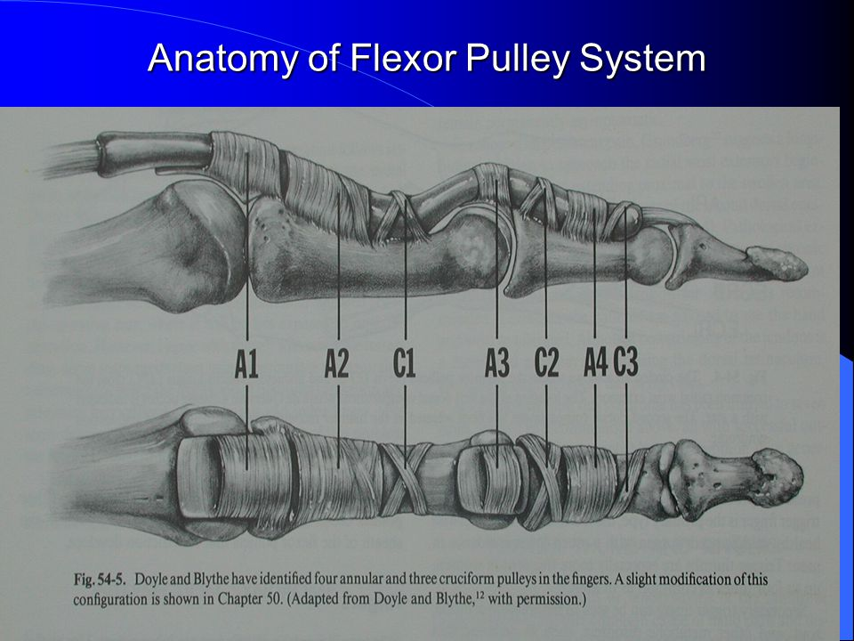 Anatomy of Flexor Pulley System