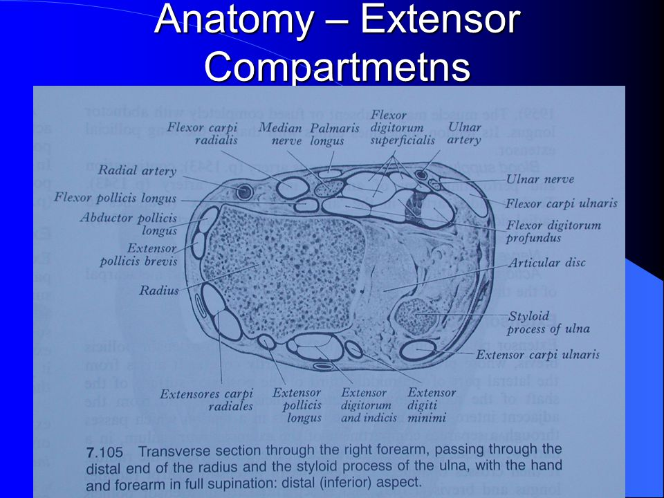 Anatomy – Extensor Compartmetns