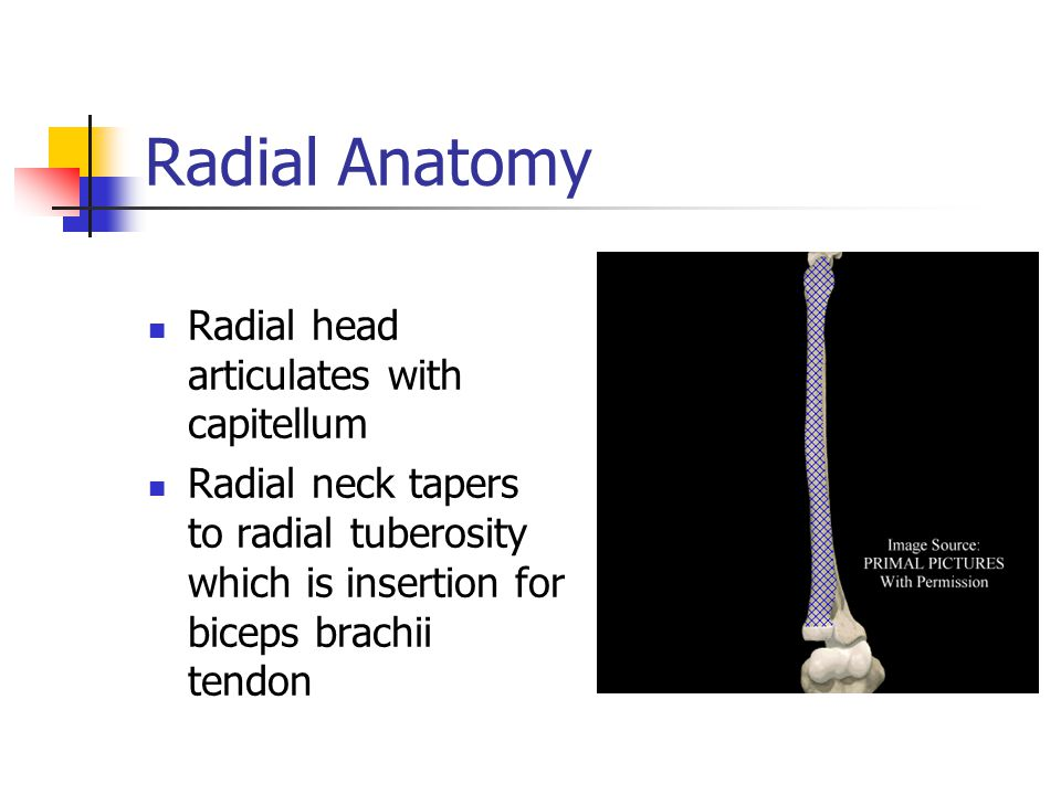 Radial Anatomy Radial head articulates with capitellum