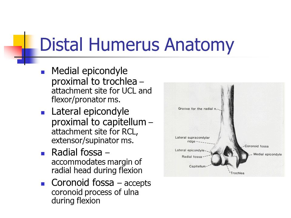 Distal Humerus Anatomy